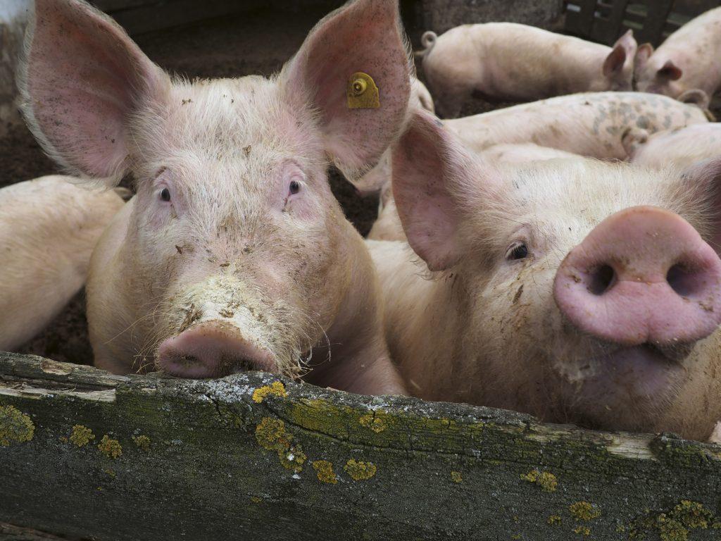 Tierseuchen: Ein zunehmendes Problem!