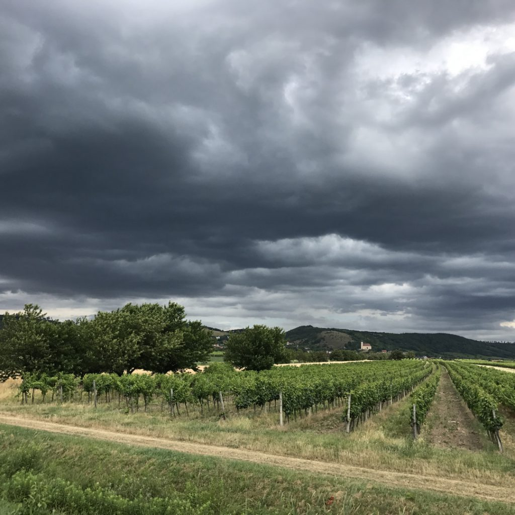 Anfang September pannonische Weinlese